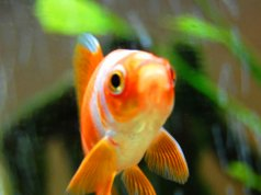 Closeup of a GoldfishPhoto by: subfluxhttps://creativecommons.org/licenses/by/2.0/
