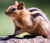 Closeup Of A Golden-Mantled Ground Squirrel Photo By: Becky Matsubara Https://Creativecommons.org/Licenses/By/2.0/