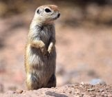 Round-Tailed Ground Squirrel (Arizona Meerkat) Photo By: Andy Reago &Amp; Chrissy Mcclarren Https://Creativecommons.org/Licenses/By/2.0/