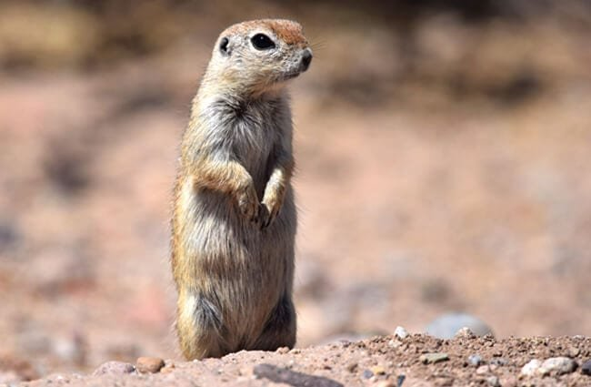 Round-tailed Ground Squirrel (Arizona Meerkat) Photo by: Andy Reago & Chrissy McClarren https://creativecommons.org/licenses/by/2.0/