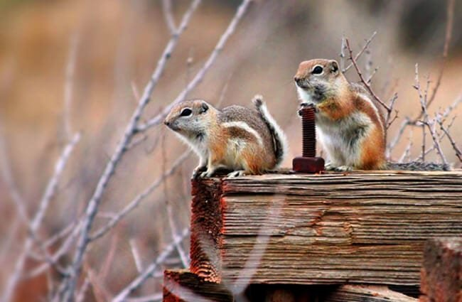 A pair of Antelope Squirrels on a fence rail Photo by: Renee Grayson https://creativecommons.org/licenses/by/2.0/