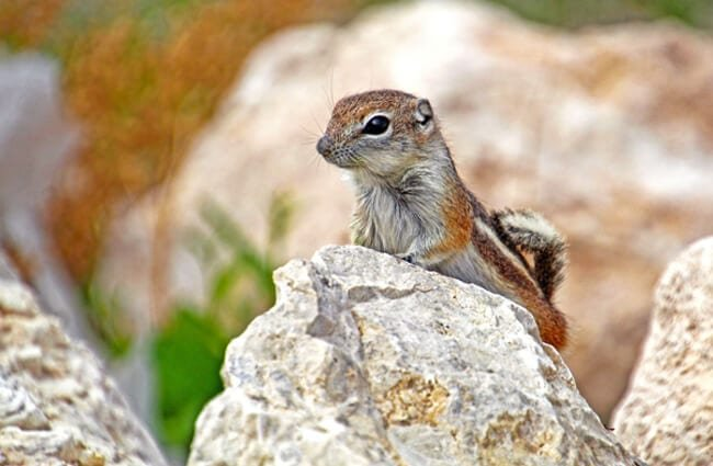 Antelope Ground SquirrelPhoto by: Renee Graysonhttps://creativecommons.org/licenses/by/2.0/