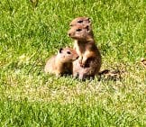 Belding'S Ground Squirrels Photo By: Sam May Https://Creativecommons.org/Licenses/By/2.0/