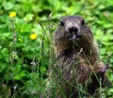 Alpine Marmot Selfie!Photo By: Tomoaki Inabahttps://Creativecommons.org/Licenses/By/2.0/
