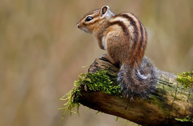 Siberian Chipmunk posing for a pic Photo by: Frank Vassen https://creativecommons.org/licenses/by/2.0/