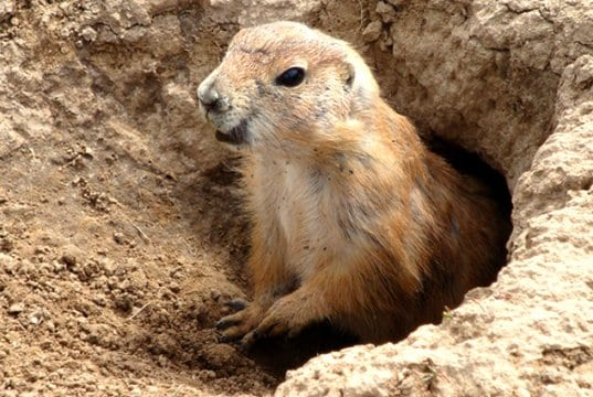 A cute Groundhog taking a quick peek above ground