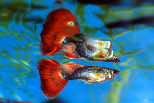 Beautiful male guppy in a home aquariumPhoto by: Frank Bostonhttps://creativecommons.org/licenses/by/2.0/