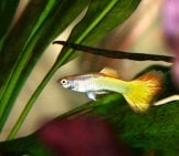 Guppy In The Foliage Of A Fish Tank Photo By: Mihnea Stanciu Https://creativecommons.org/licenses/by/2.0/