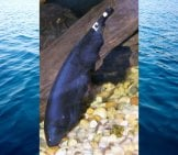 Black Ghost Knifefish Photo By: Photo By And (C)2005 Derek Ramsey (Ram-Man) Cc By-Sa 2.5 Https://creativecommons.org/licenses/by-Sa/2.5