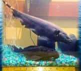 Black Ghost Knifefish In A Home Aquarium Photo By: Https://creativecommons.org/licenses/by-Sa/2.0/