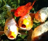 Feeding Time At The Koi Pond Photo By: Mark Doliner Https://creativecommons.org/licenses/by-Sa/2.0/