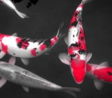 Pink Selective-Color Koi Photo By: Rosewoman Https://creativecommons.org/licenses/by-Sa/2.0/