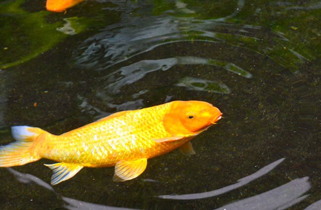 Koi Pond around the Fairmont Orchid hotel in Hawaii Photo by: sk https://creativecommons.org/licenses/by-sa/2.0/