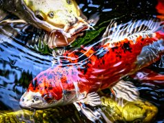 Exotic Koi fishPhoto by: Alexas_Fotoshttps://pixabay.com/photos/koi-pond-fish-japanese-nature-4554767/