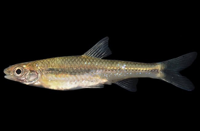 Closeup of a Minnow Photo by: Smithsonian Environmental Research Center https://creativecommons.org/licenses/by/2.0/