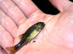 A Fathead MinnowPhoto by: NOAA Great Lakes Environmental Research Laboratoryhttps://creativecommons.org/licenses/by/2.0/