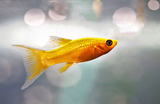 Gold Molly Photo by: Iva Balk https://pixabay.com/photos/fish-aquarium-freshwater-fishy-3214949/