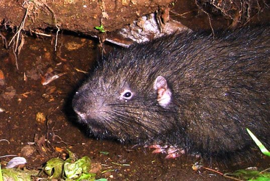 A plump little Mountain Beaver Mountain Beaver photographed in the Sierra Nevadas, California