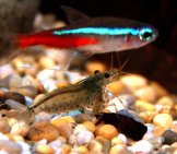 A Bright Neon Tetra Above A Caridina Japonica Shrimp Photo By: Carolineccb Https://creativecommons.org/licenses/by-Nd/2.0/