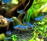 Neon Tetras Photo By: V.v Https://creativecommons.org/licenses/by-Nd/2.0/