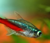 A Red-Bellied Neon Tetra Photo By: The Reptilarium Https://creativecommons.org/licenses/by-Nd/2.0/