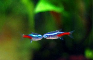 Neon Tetras kissingPhoto by: Sirenz Lorrainehttps://creativecommons.org/licenses/by-nd/2.0/