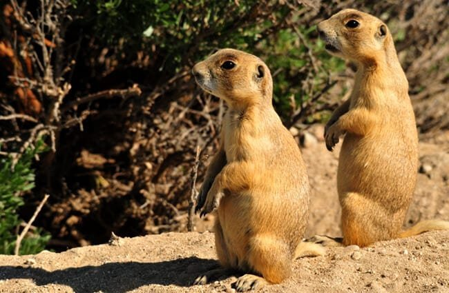White-Tailed Prairie Dogs at Seedskadee National Wildlife Refuge Photo by: Tom Koerner, USFWS Mountain-Prairie https://creativecommons.org/licenses/by/2.0/