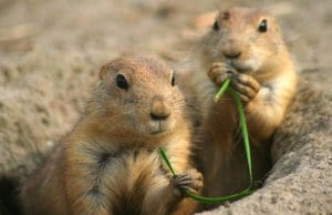 Two prairie dogs at Rotterdam Zoo, in the NetherlandsPhoto by: Jinterwas//creativecommons.org/licenses/by/2.0/
