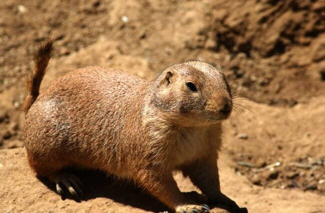 Black-Tailed Prairie Dog Photo by: Jean https://creativecommons.org/licenses/by/2.0/
