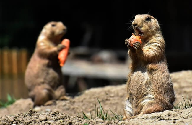 A pair of Prairie Dogs outside their den Photo by: Alexas_Fotos https://pixabay.com/photos/prairie-dogs-nager-rodents-desert-4349563/