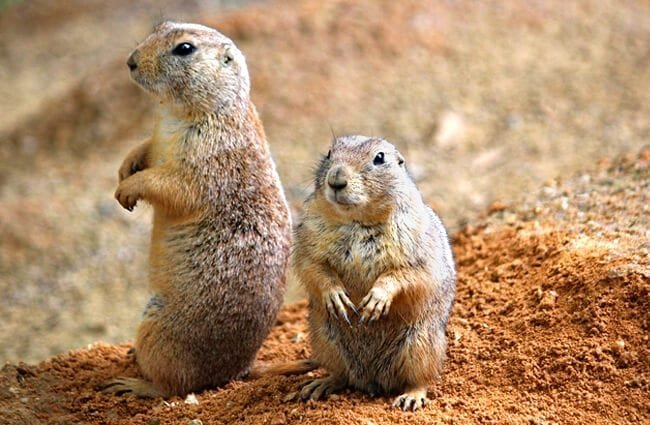 Prairie Dog portrait! Photo by: Dušan Smetana //pixabay.com/photos/prairie-dogs-rodents-couple-sitting-4179187/