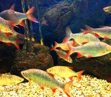 Common Rudds At The Bodorka Balaton Aquarium In Hungary Photo By: Emőke Dénes Cc By-Sa 4.0 Https://creativecommons.org/licenses/by-Sa/4.0