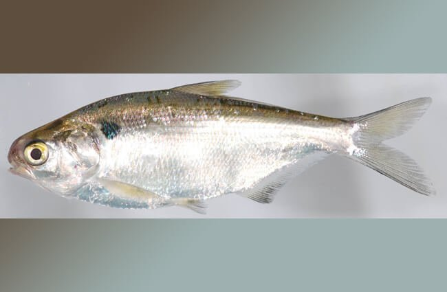 Gizzard Shad Photo by: Smithsonian Environmental Research Center https://creativecommons.org/licenses/by/2.0/