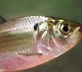 Gizzard Shad Head Upstream To Spawnphoto By: Brian Gratwicke, Natureservehttps://creativecommons.org/licenses/by/2.0/