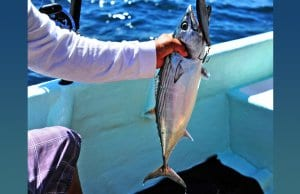Black Skipjack TunaPhoto by: Heather Paulhttps://creativecommons.org/licenses/by/2.0/