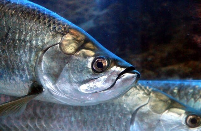 Silvery Tarpons Photo by: zoosnow https://pixabay.com/photos/tarpon-megalops-fish-head-3866411/