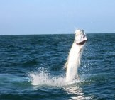 A Tarpon Jumps Out Of The Water Photo By: Florida Fish And Wildlife Https://creativecommons.org/licenses/by/2.0/