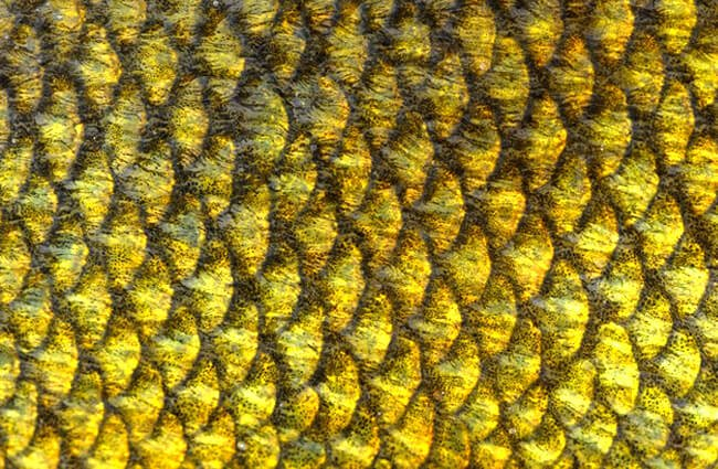 Closeup of Tench fish scales Photo by: (c) Digifuture www.fotosearch.com