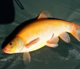 Golden Tench Photo By: George Barker Https://creativecommons.org/licenses/by/2.0/
