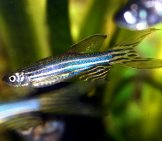 A Female Zebrafish With Fantails