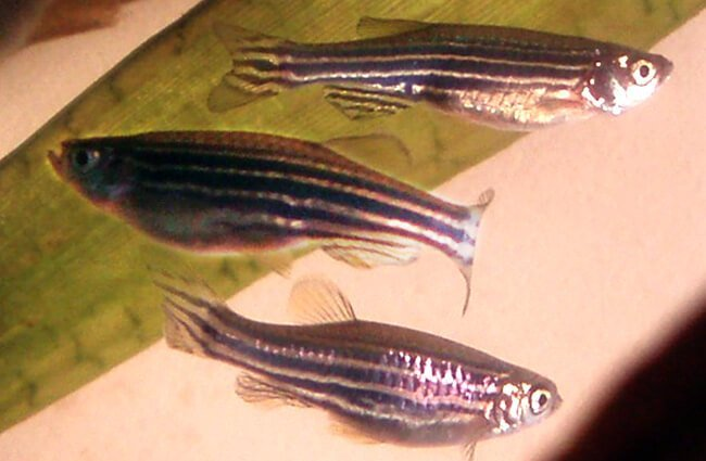 A trio of Zebrafish in a home aquarium Photo by: Bárbol https://creativecommons.org/licenses/by-nc-sa/2.0/