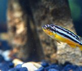 Tiny Zebrafish Photo By: (C) Natstocker Www.fotosearch.com