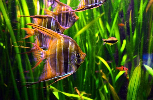 Freshwater Angelfish in Frankfurt's zoo Photo by: Joachim S. Müller https://creativecommons.org/licenses/by-nc-sa/2.0/