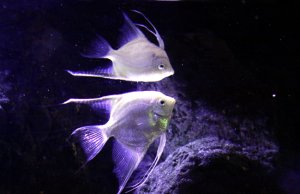 A beautiful AngelfishPhoto by: Bill Harrisonhttps://creativecommons.org/licenses/by-nc-sa/2.0/