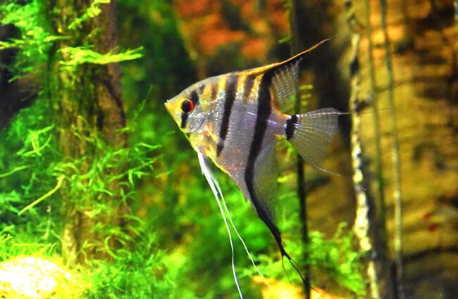 Freshwater Angelfish Photo by: Laura Wolf https://creativecommons.org/licenses/by-nc-sa/2.0/