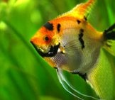 Angelfish Portrait Photo By: Emilia Murray Https://creativecommons.org/licenses/by-Nc-Sa/2.0/