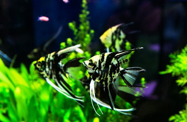 Angelfish in a tropical freshwater aquarium Photo by: (c) subinpumsom www.fotosearch.com