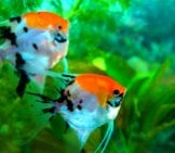A Pair Of Angelfish In A Small Home Aquarium Photo By: (C) Mila103 Www.fotosearch.com