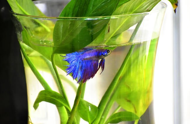 Bettas were once sold in vases with plants Photo by: Rebecca Lehman (from Pixabay) https://pixabay.com/photos/beta-fish-betta-animal-aquatic-2868325/