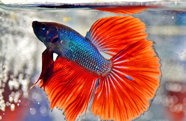 Veil Tail Betta checking the surface for food Photo by: Iva Balk (from Pixabay) https://pixabay.com/photos/beta-warrior-aquarium-fish-veils-3424574/